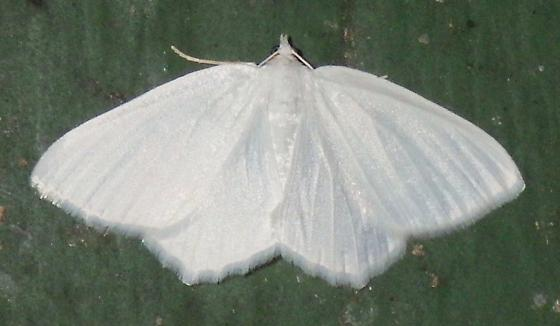 ? 6965 – Eugonobapta nivosaria – Snowy Geometer Moth? - Eugonobapta nivosaria