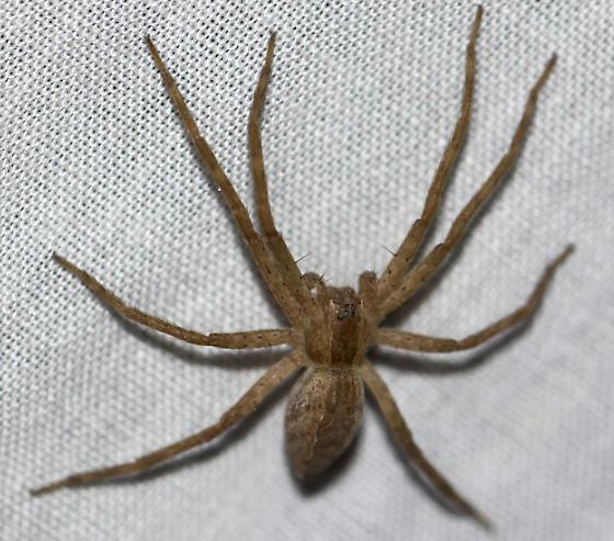 brown spider 415 - Pisaurina mira