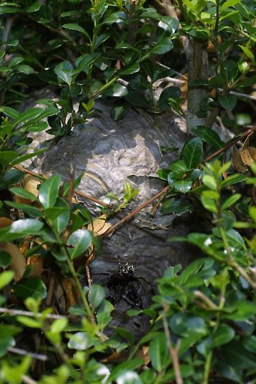 Hornets - Dolichovespula maculata
