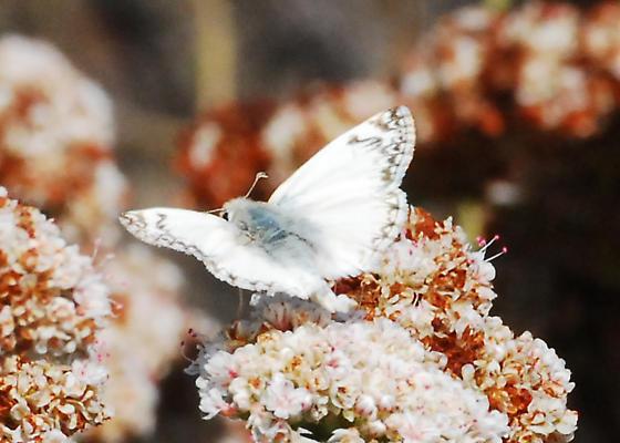 Northern White Skipper - Heliopetes ericetorum