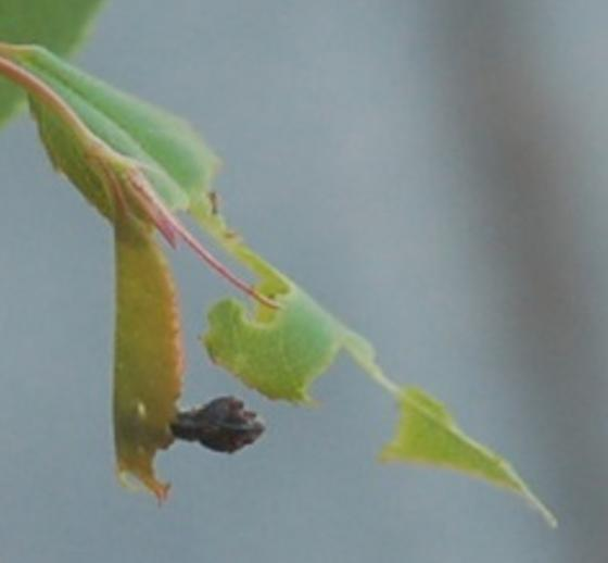 St. Andrews moth larva on Prunus serotina 2016 3 - Coleophora