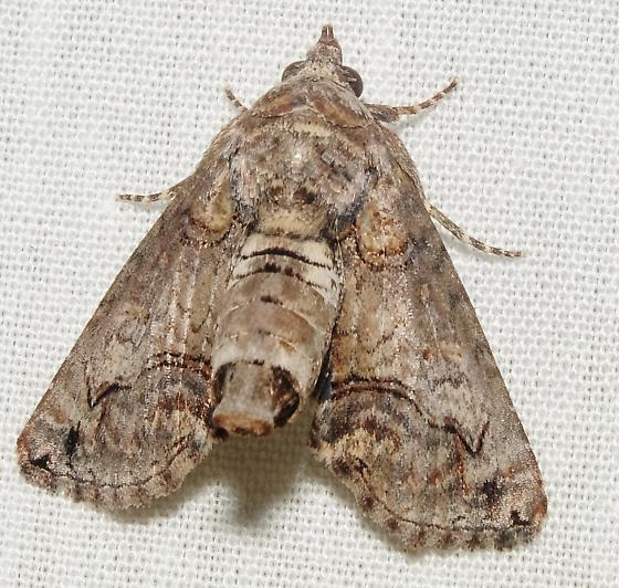 Can this Paectes moth be identified to species? - Paectes