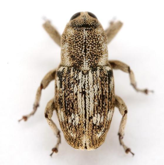 Cylindrocopturus adspersus (LeConte) - Cylindrocopturus adspersus