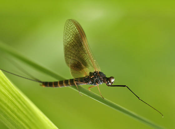large mayfly - Leptophlebia pacifica