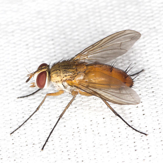Big Fly - Leskia