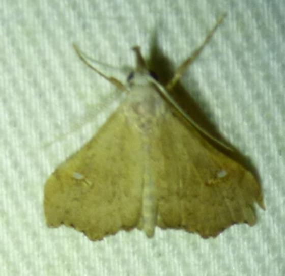 Redectis vitrea - White-spotted Redectis - Redectis vitrea