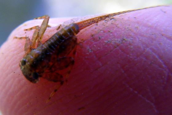 Mayfly nymph, Heptageniidae