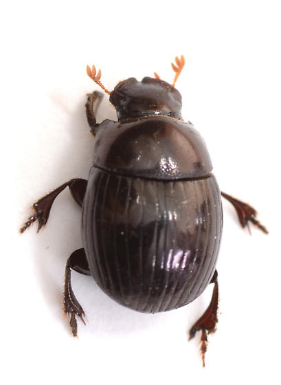 dung beetle from pony feces - Ateuchus