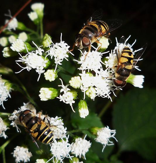 Transverse Flower Fly - Eristalis transversa - male - female