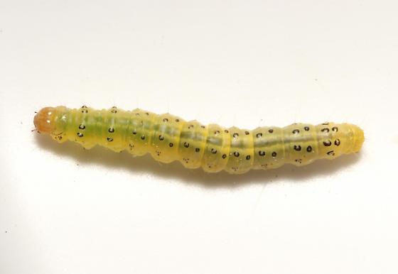Crambidae, dorsal - Sitochroa chortalis