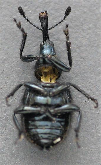 H. aeneus - Haplorhynchites