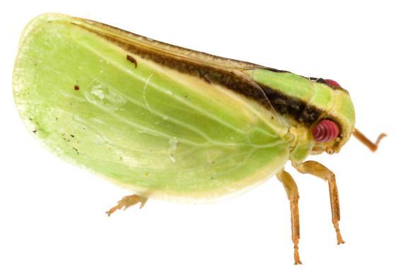 Acanalonia fasciata? - Acanalonia fasciata