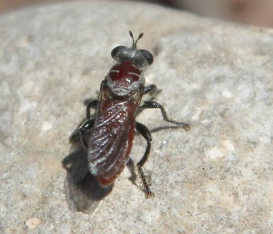 maroon bodied fly ? - Cerotainiops abdominalis