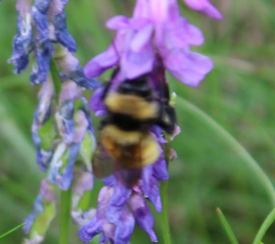 Bumble bee - Bombus - female
