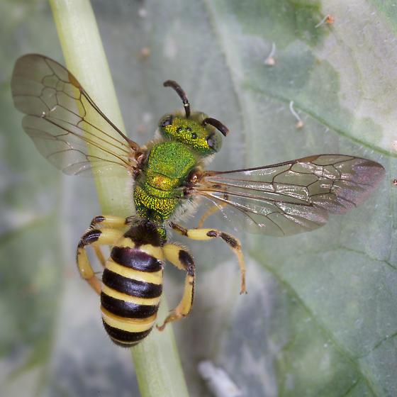 Sweat Bee - male Agapostemon sericeus? - Agapostemon sericeus - male
