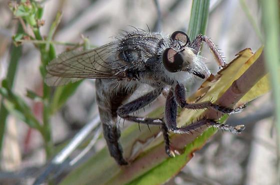Promachus dimidiatus? - Promachus dimidiatus - female