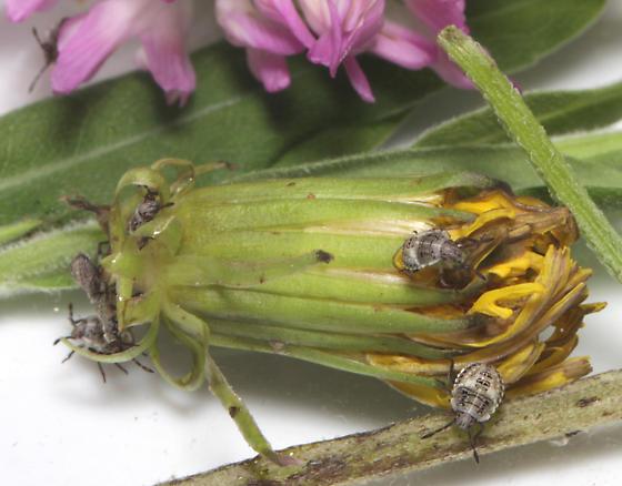 Pentatomidae, nymphs - Euschistus