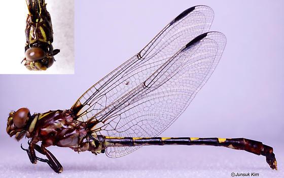 Odonata species - Progomphus obscurus - male