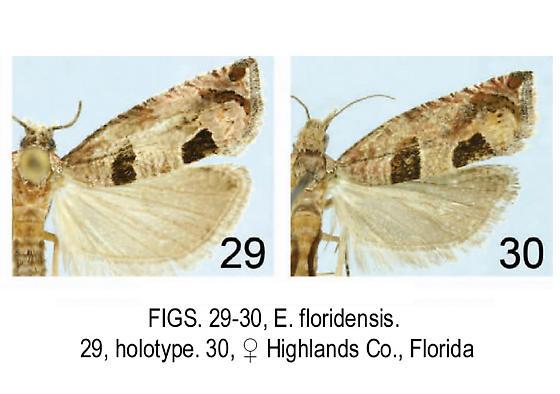 Eucosma floridensis Holotypes - Pelochrista floridensis