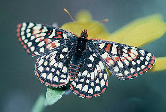 Variable Checkerspot - Euphydryas anicia--c - female