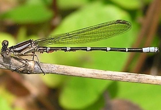 Blue-ringed? - Argia sedula - female