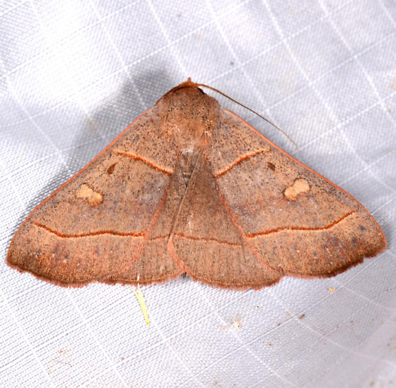 Panopoda - Panopoda rufimargo