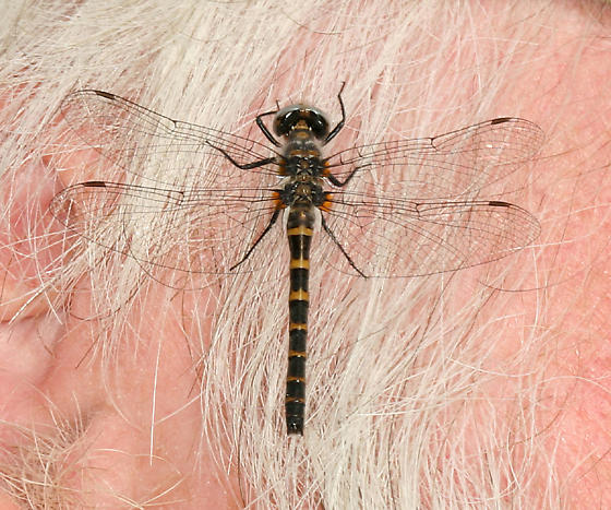 A friendly Ringed Boghaunter - Williamsonia lintneri