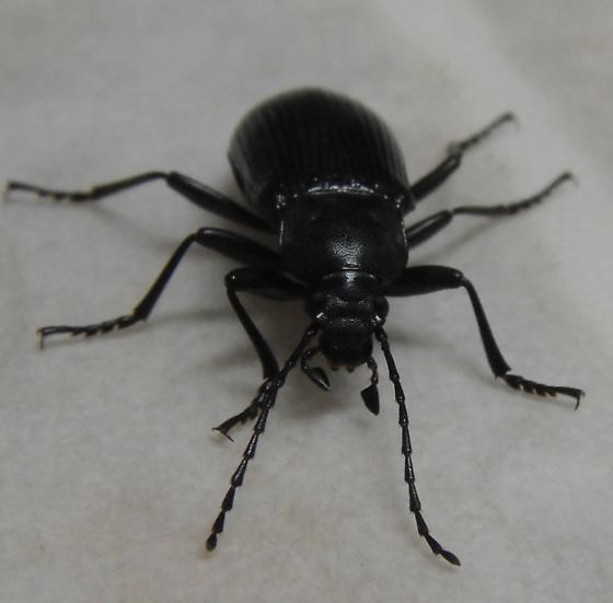 Looks like a Ground beetle but I think it might be a type of Darkling beetle though. - Helops