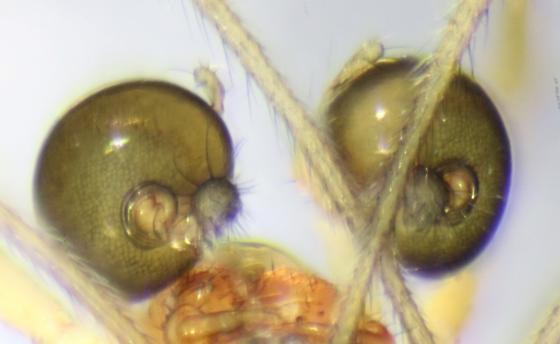 Linyphiid-voucher image - Glenognatha foxi - male