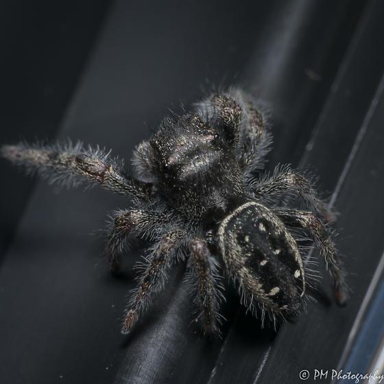 Salticidae phidippus purpuratus?? - male