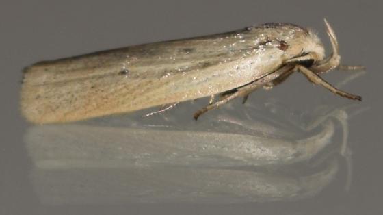 Moth ID request - Gonioterma mistrella