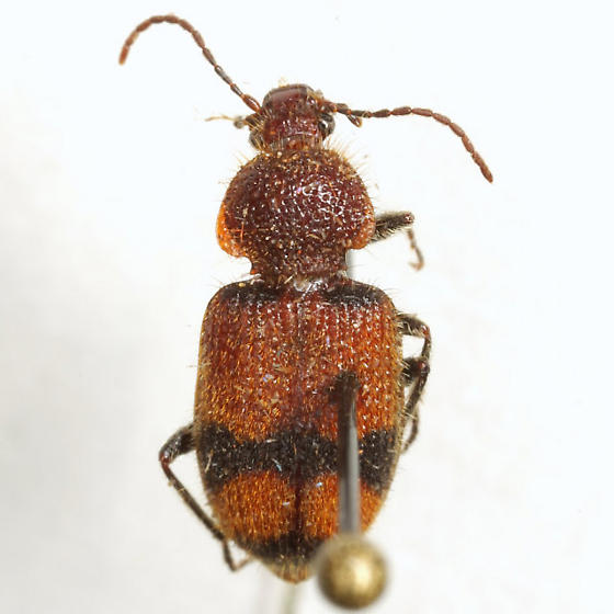 Panagaeus fasciatus Say - Panagaeus fasciatus