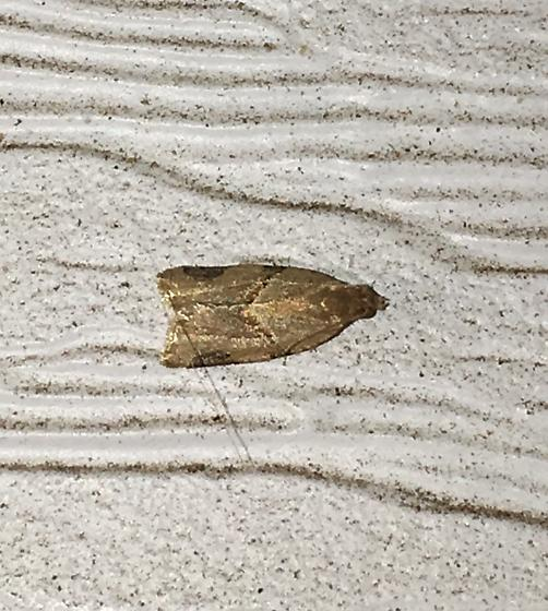 Another brown moth  - Clepsis peritana