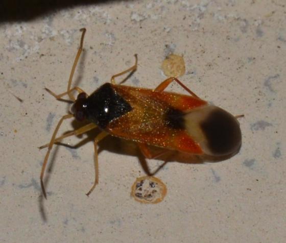 Ceratocapsus apicalis
