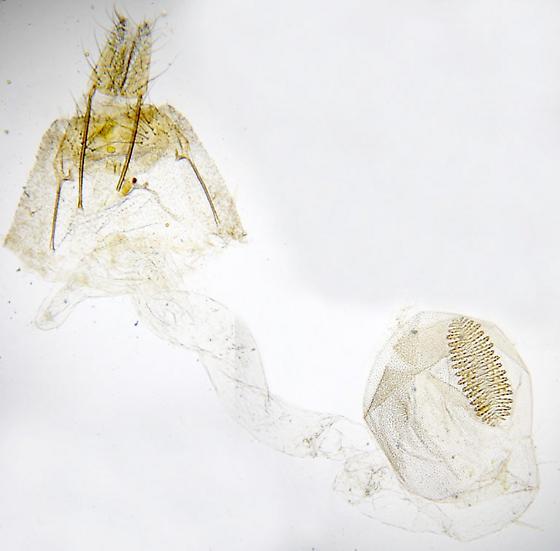 Gelechioid - Psilocorsis - female