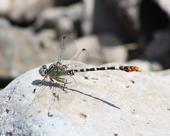 Serpent Ringtail - Erpetogomphus lampropeltis