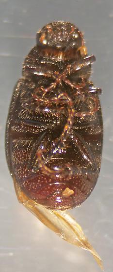 Unknown Beetle - Diplotaxis bidentata