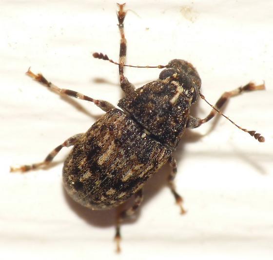 Fungus Weevil? - Piesocorynus mixtus