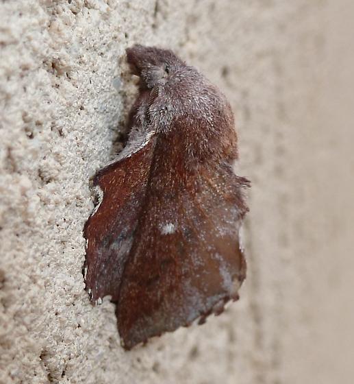 Phyllodesma - Phyllodesma occidentis