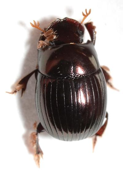 Dung beetle from pony dung - Ateuchus histeroides