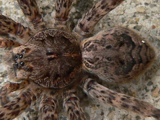 Dolomedes tenebrosus - female