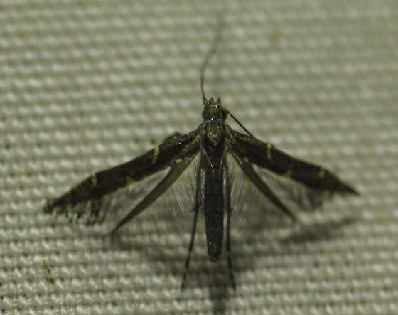 Is this that undescribed Caloptila-like moth again? - Caloptilia triadicae