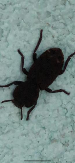 Possible beetle. Brown spotted rear end and slow paced walk.