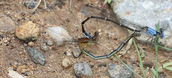Coenagrionidae - Argia apicalis - male - female