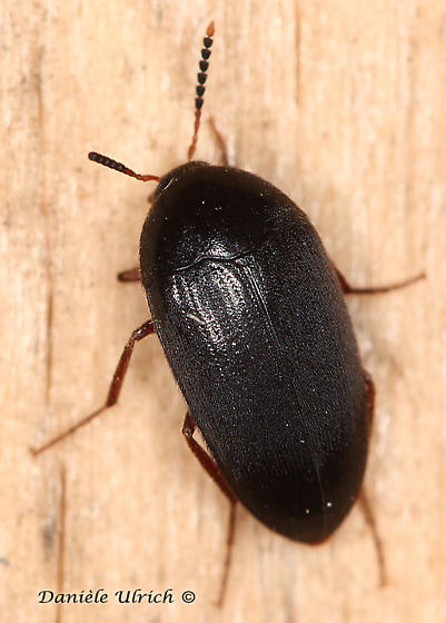 Coleoptera ? - Eustrophopsis bicolor