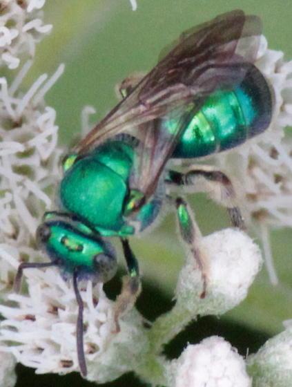 Metallic Green Bee - Augochloropsis