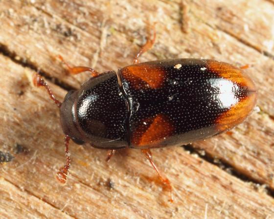 Pleasing Fungus Beetle - Dacne quadrimaculata