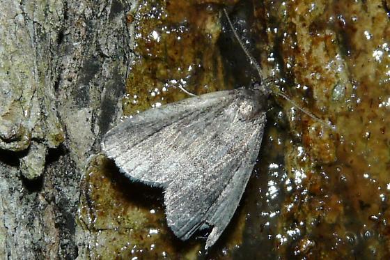 Unknown Moth - Idia