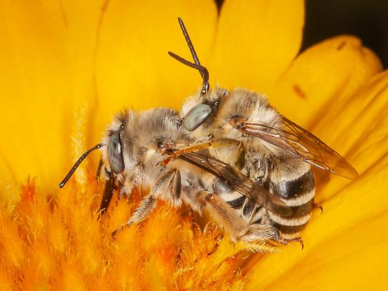 Anthophora Pair? - Anthophora urbana - male - female