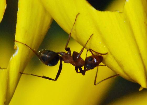 Caspers Ant #1 - Formica moki